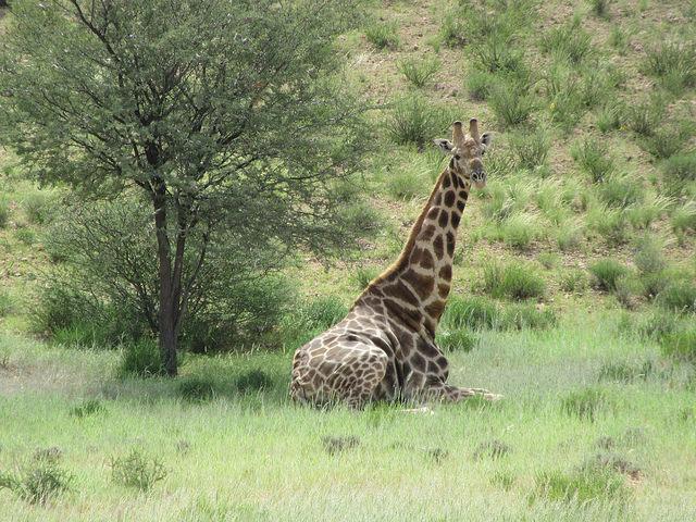 Giraffes enjoying a bit of shade and relaxing