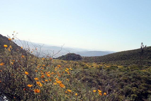 Some beautiful wild flowers in Springbok.