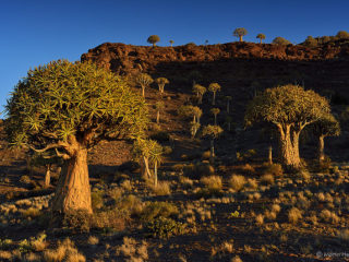 Quiver Tree forest - Stock Image