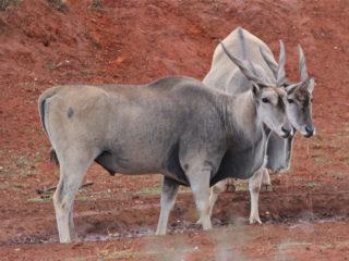 Eland Mokala National Park South Africa