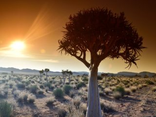Northern Cape Quiver Tree Kokerboom 8354