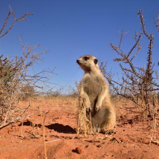 Kalahari  Red Trails Meerkat  Red Dune Route