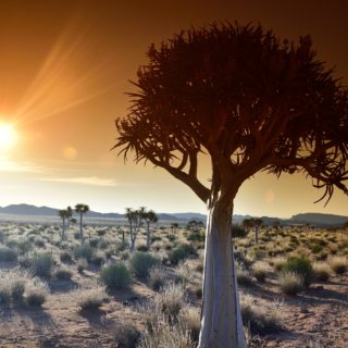 Northern Cape Quiver Tree  Kokerboom