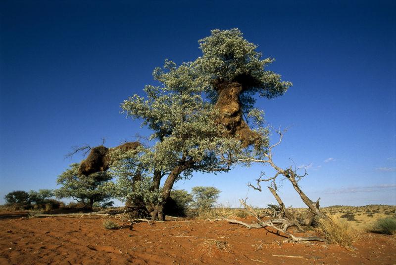 Northern Cape Quiver Tree Kokerboom 8354 Copy