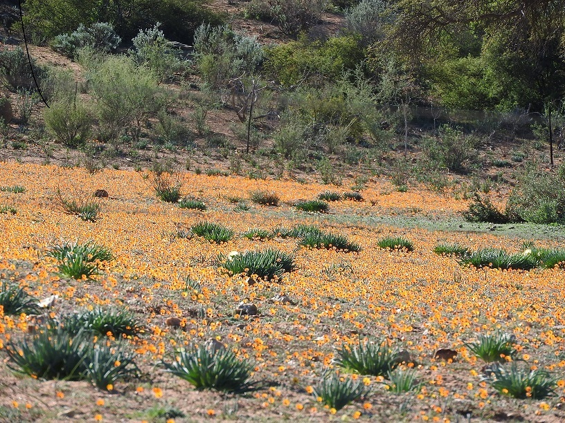 Blooms in the Namaqua National Park.